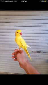 Yellow Indian ringneck Eumemmerring Casey Area Preview