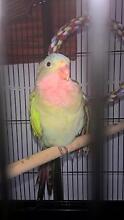 tame princess parrot Gin Gin Bundaberg Surrounds Preview