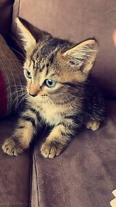 Kitten for sale Campsie Canterbury Area Preview