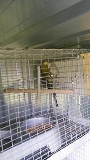Budgie english pair Broadmeadows Hume Area Preview