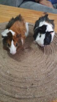 Guinea pig Brothers 2 months Girrawheen Wanneroo Area Preview