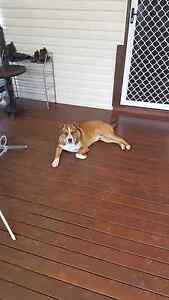 Dog for free but only to a great home Woody Point Redcliffe Area Preview