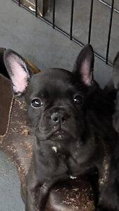 French Bulldog Female Puppy READY NOW