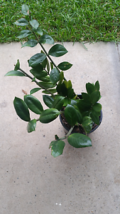 Plants for sale Casula Liverpool Area Preview