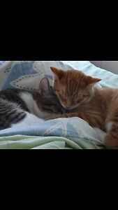 Cuddly Orange Cat looking for a Cuddly Owner Cambridge Kitchener Area image 4