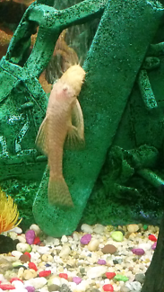 Male Albino Bristlenose Catfish.