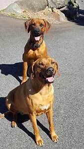 Pure Rhodesian Ridgeback Pups Rockhampton Rockhampton City Preview