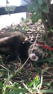 Wanted: LOST FERRET IN BOORAGUL NSW