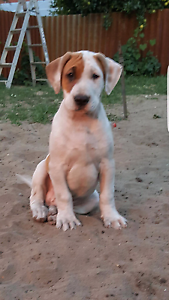 American Staffy x Bullarab puppies ready Stirling Stirling Area Preview