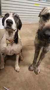 Burr lee cross pups Kirwan Townsville Surrounds Preview