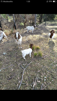 3 Month Old Boer Goats