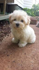 Expressions of Interest for Maltese Puppies.