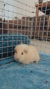 Male baby Guinea Pig