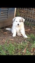 WANTED: Border Collie Puppy Pymble Ku-ring-gai Area Preview