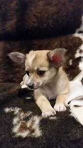 Purebred Chihuahua male puppy Camillo Armadale Area Preview