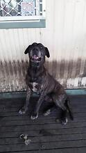 Mastiff male FREE to good home. Raymond Terrace Port Stephens Area Preview