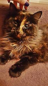 Beautiful Medium hair 2&1/2 year old cat and all her belongi Broadmeadows Hume Area Preview