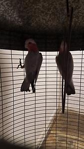 Pair galah parrot Sydney City Inner Sydney Preview