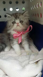 Wanted: Wanted to buy Female Exotic ShortHair