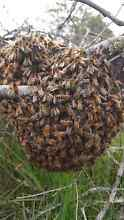 Free bee swarm removal around launceston and surrounding areas Invermay Launceston Area Preview