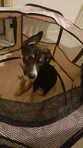 12 Week old Kelpie X Puppy Sippy Downs Maroochydore Area Preview