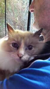 Birman Blue Tortie Point female. Desexed pure bred with papers Kilsyth Yarra Ranges Preview