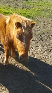 2 miniture horses for sale Browns Plains Logan Area Preview