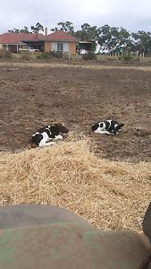 Friesian bull calves for sale Mount Torrens Adelaide Hills Preview