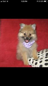Pomeranian for sale!
