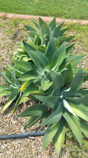 Agave Pups Cluster