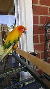 Tamed male sun conure for sale South Plympton Marion Area Preview