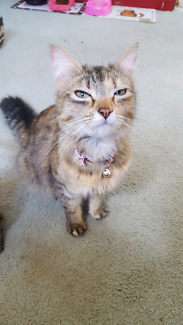 Female tortishell cat