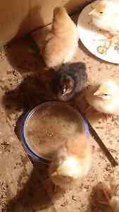 Chickens for sale Waterford West Logan Area Preview
