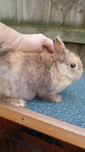 female netherland dwarf rabbit and cage  $120 Coldstream Yarra Ranges Preview