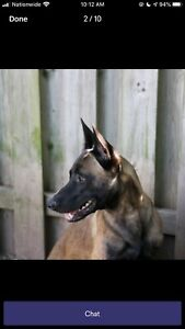 13 Week old Purebred  Belgian Malinois Male