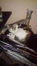 11 week old kitten Wurtulla Maroochydore Area Preview