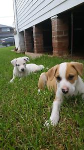 Kelpie cross American stuffy puppies Merrylands West Parramatta Area Preview
