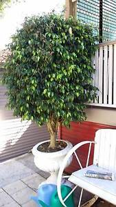 Ficus Trees in Urn Bateau Bay Wyong Area Preview