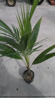 Coconut Palm Tree In Container   2 To 6