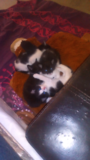 Kittens for sale to good home