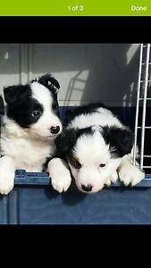 Couple seeking a puppy for Nov-Dec 2016. Mitchelton Brisbane North West Preview