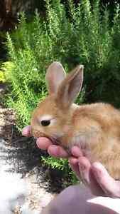 Baby bunny rabbits Glen Waverley Monash Area Preview