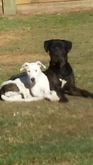 neo mastiff x pups Narangba Caboolture Area Preview