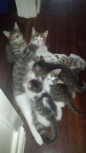 Kittens for sale. Whyalla Stuart Whyalla Area Preview