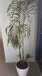 Free 6ft palm tree Southport Gold Coast City Preview