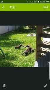 staffy pups Shellharbour Shellharbour Area Preview