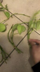 Pothos Clippings ready for soil