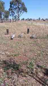 Chooks/ducks/guinea fowls Denman Muswellbrook Area Preview