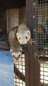 Ferrets x and massive cage Kirup Donnybrook Area Preview