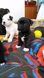 5 x English Staffy x Chihuahua Pups Blackmans Bay Kingborough Area Preview